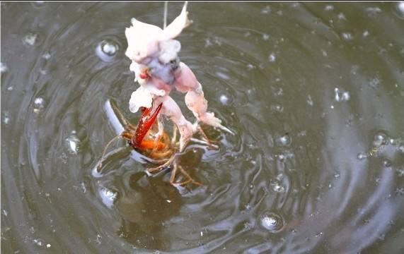 那些年我們一起釣過的小龍蝦 - 每日頭條