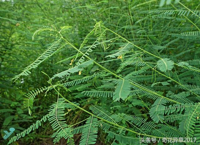 田菁。改良鹽鹼地土壤的最適宜植物之一 - 每日頭條