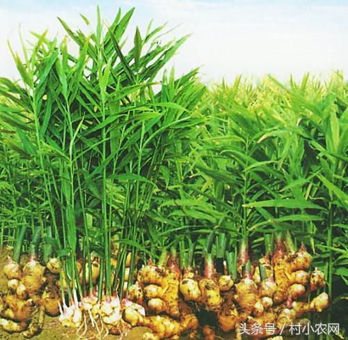 生薑是必備調味品。這樣栽培種植。想不提高產量都難! - 每日頭條