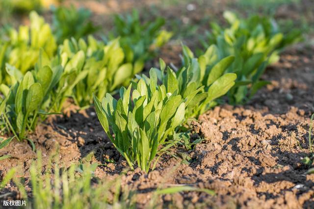 了解到籽用菠菜套種玉米種植技術。能得到不一樣的收穫 - 每日頭條