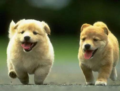 關於狗狗的配種問題。你知道多少 - 每日頭條