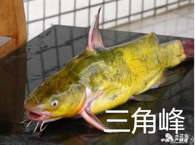 黃辣丁與黃顙魚傻傻分不清?這裡教你如何區分 - 每日頭條