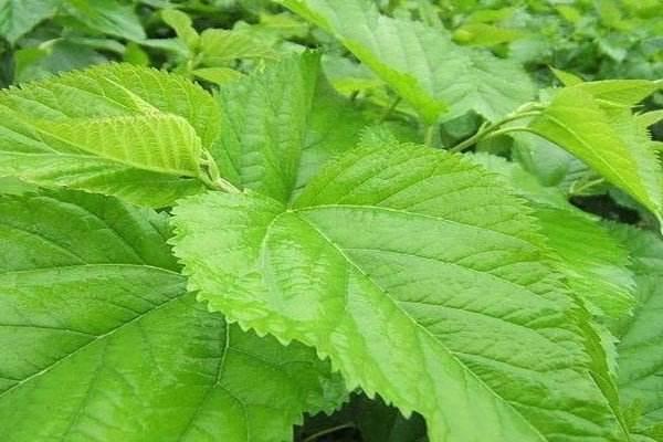 它在農村被稱為「神仙葉」,一天幾片就能降血糖,降血脂 - 每日頭條