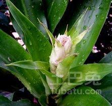 巴西鐵樹的風水作用簡介 - 每日頭條