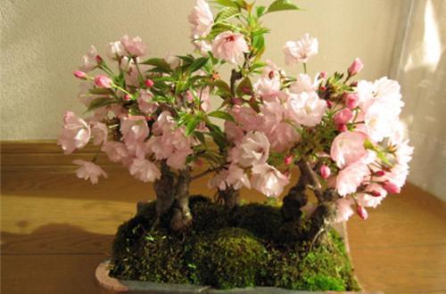 櫻花盆景怎麼養護 櫻花盆景的養護方法(圖) - 每日頭條