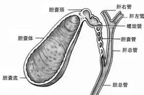 為什麼膽囊愛發炎? - 每日頭條