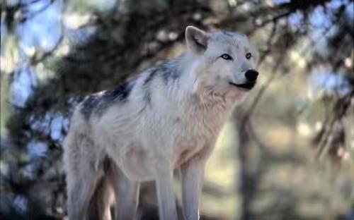 「狼狽為奸」成語裡的狼我們經常看見可是狽到底是什麼玩意兒? - 每日頭條