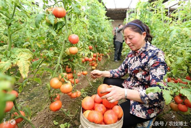 大棚西紅柿怎麼種植?大棚西紅柿的栽培技術要點 - 每日頭條