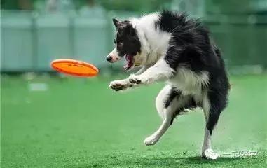 寵知識|學會這3招。你家的狗玩飛盤也可以玩得很6 - 每日頭條