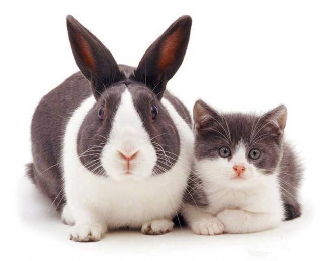 貓咪和兔子神同步,鏟屎官遇上「貓貓兔」,小兔子長成貓咪樣! - 每日頭條