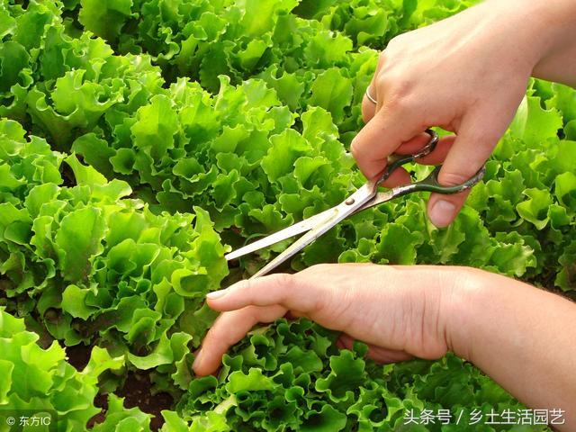 盆栽蔬菜很容易種植,這幾種蔬菜生長速度快,根本吃不及 - 每日頭條