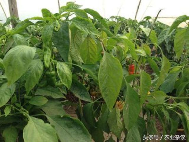 辣椒重茬就長不好了嗎?重茬辣椒怎麼種 - 每日頭條