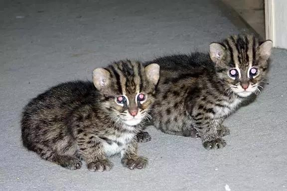 一篇文章看全貓的品種 - 每日頭條
