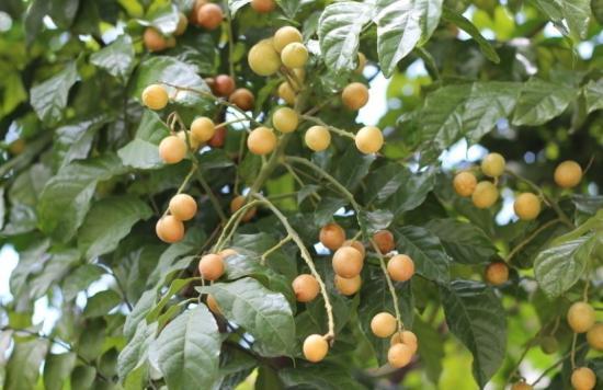 黃皮果樹的栽培技術 - 每日頭條