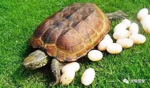 如何提高公龜交配能力和母龜的受精率? - 每日頭條