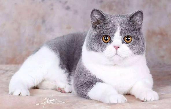 吸貓吸貓吸貓!英短藍貓藍胖次,快到碗裡來! - 每日頭條