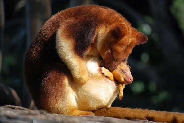 澳洲特有10種動物。如果你只知道袋鼠就奧特啦! - 每日頭條