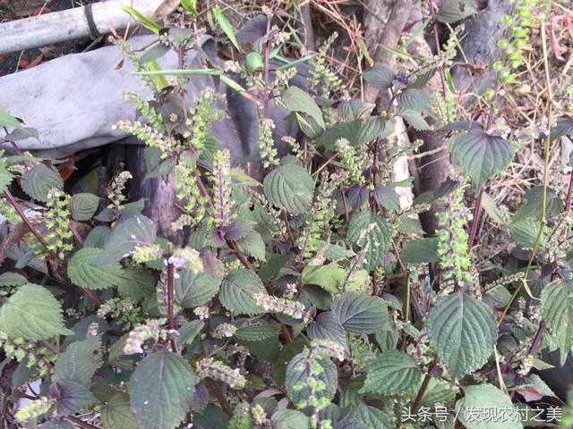 在農村隨處可見的紫蘇,是純天然的美食佐料,還能治感冒風寒哦! - 每日頭條