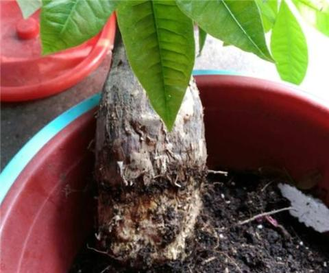 發財樹爛根這麼做,蹭蹭生根冒嫩芽! - 每日頭條
