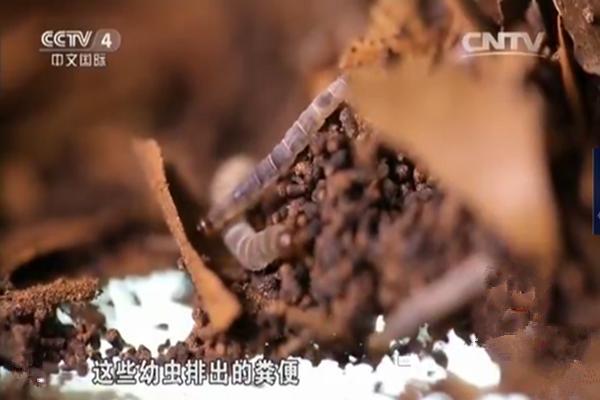 蟲茶不是茶。農村人卻說它就是茶 - 每日頭條