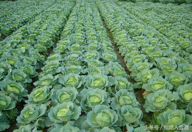 甘藍菜的營養價值 甘藍菜的功效及做法 - 每日頭條