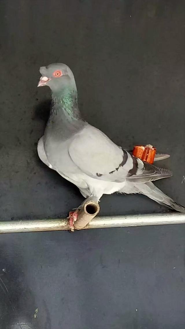 自己飼養鴿子有什麼方法呢?看完基本就在也不擔心不會養鴿子了! - 每日頭條