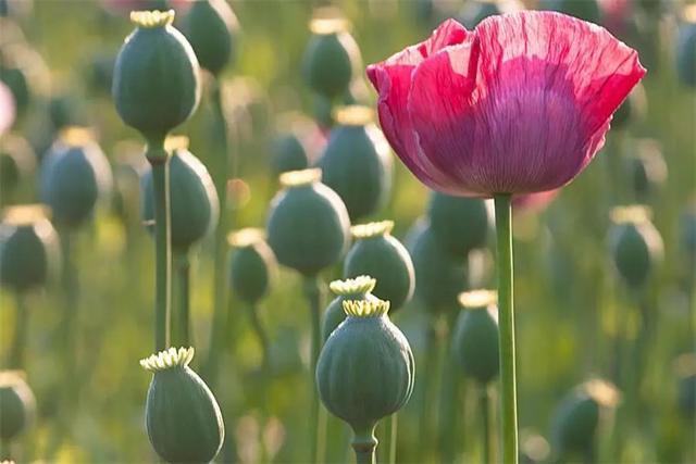 毒品植物|罌粟 - 每日頭條