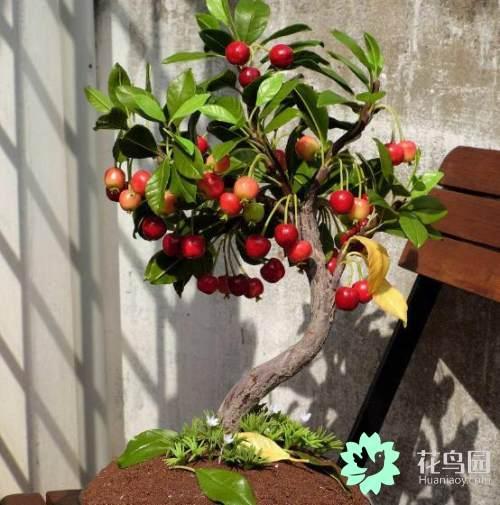 櫻桃的盆栽種植方法 - 每日頭條