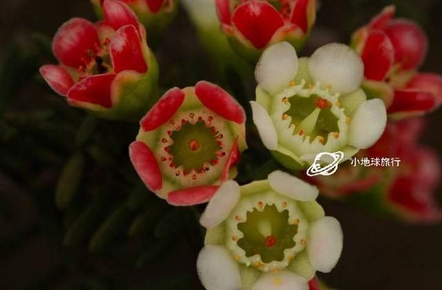 最全的西澳野花百科,沒有之一。|小地球旅行耗時一周原創 - 每日頭條