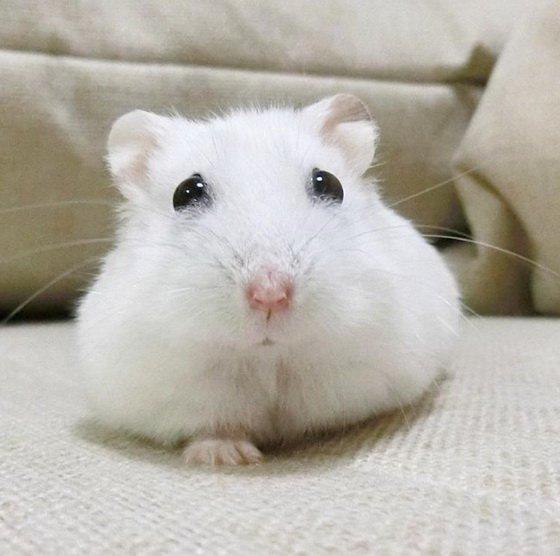 超可愛小倉鼠走紅網絡,各種囧圖萌翻網友 - 每日頭條