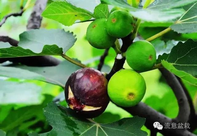 九種適合盆栽的水果。你想要哪種? - 每日頭條