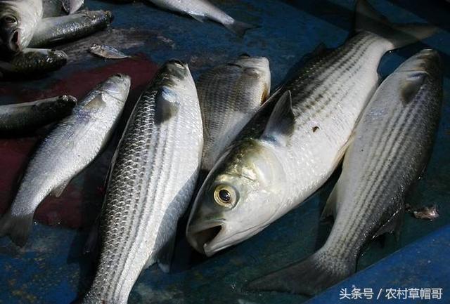 鏡頭下:釣魚界最好吃的十五種魚。你最愛哪種? - 每日頭條