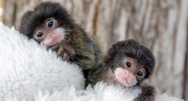 世界上最小的猴子——狨猴 - 每日頭條