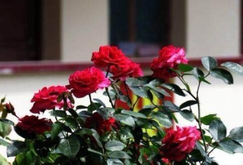 月季花光長葉子不開花。教你幾招。開花真的很簡單 - 每日頭條