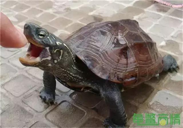 推薦五種適合新手飼養的水龜品種 - 每日頭條