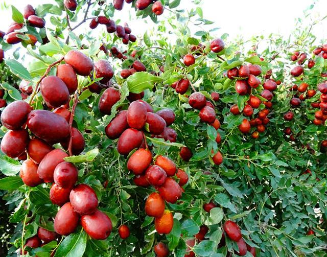 在農村。可種植的大棗品種你知道多少?哪種棗的營養最豐富? - 每日頭條