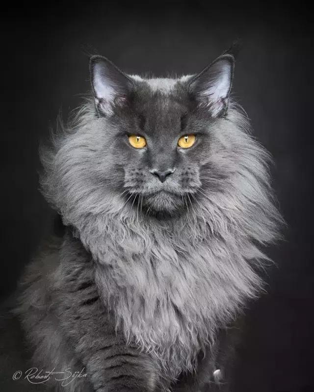 每日一貓:緬因貓 - 每日頭條