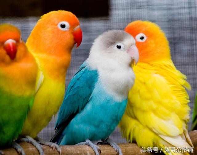 鸚鵡養殖新手問題大集錦(一)。別再說你不會養鸚鵡! - 每日頭條