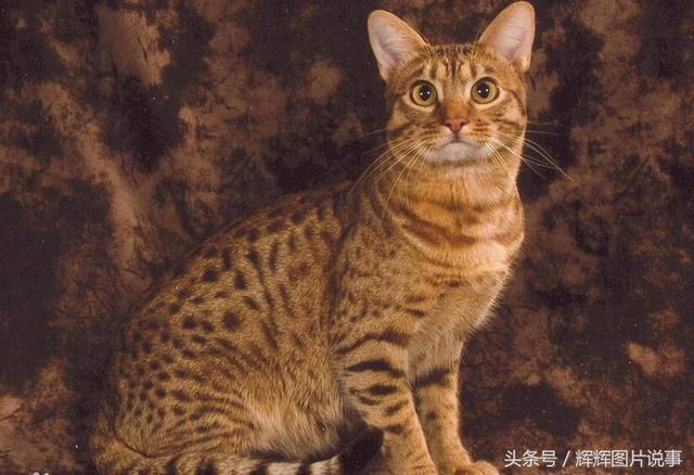 世界名貓品種大全(上) - 每日頭條