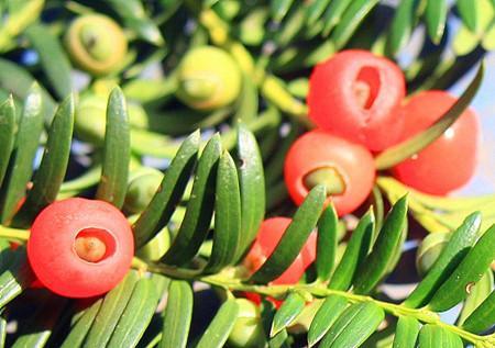 河州牡丹—紅豆杉的養殖方法和注意事項 - 每日頭條