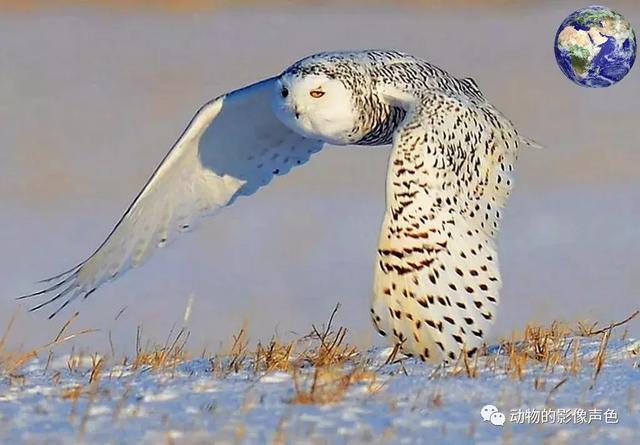 原來貓頭鷹中也有這麼可愛的。渾身雪白看起來像個小天使 - 每日頭條
