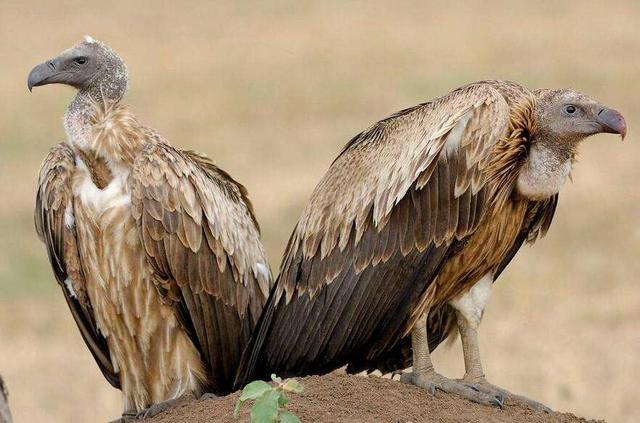動物圖集:白背兀鷲 - 每日頭條