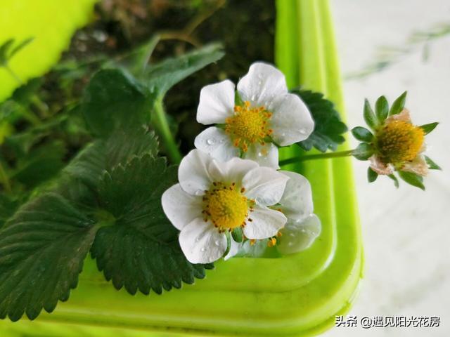 種草莓為什麼不開花?從4個要素入手促花促果 - 每日頭條