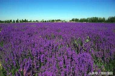 大連的普羅旺斯——紫雲花汐薰衣草莊園 - 每日頭條