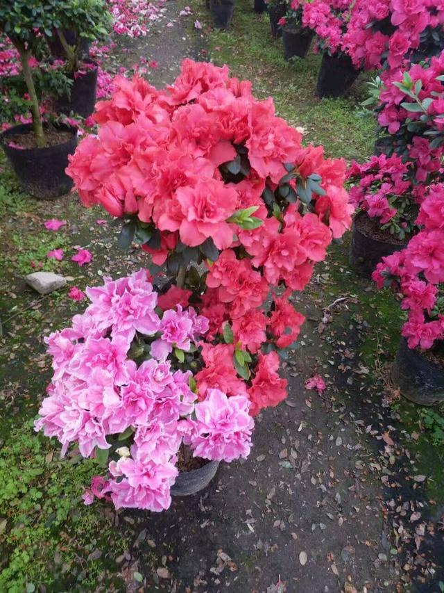 花卉的種植方法及繁殖——杜鵑花 - 每日頭條