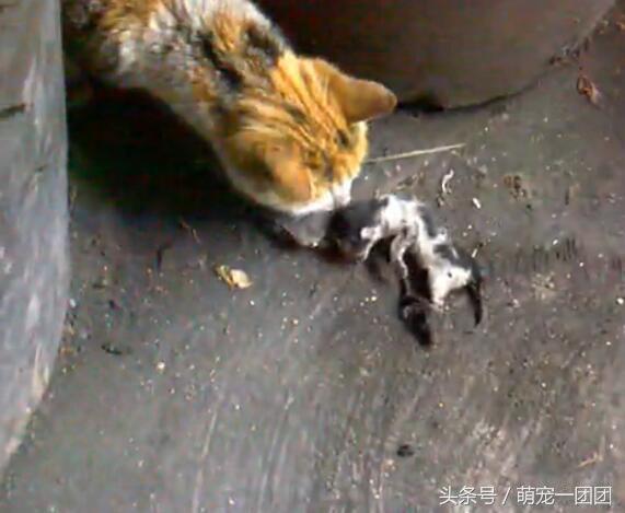 母貓生下小貓後。帶著其中一隻小貓失蹤了。找到時它正在吃小貓 - 每日頭條