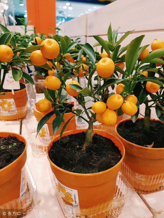 盆栽橘子的種植技術分享 - 每日頭條