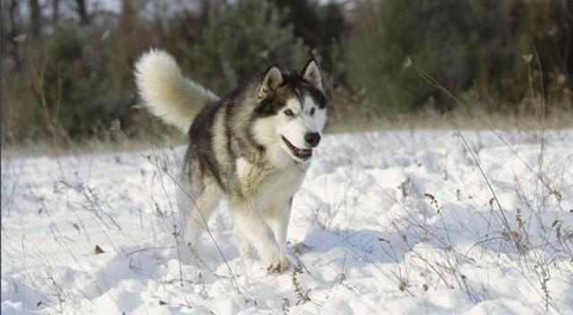 地球最北的精靈:阿拉斯加雪橇犬。他可不是二貨哈士奇 - 每日頭條