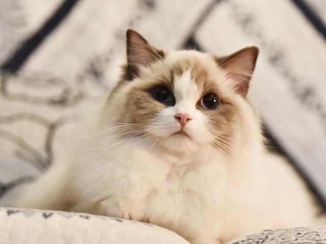 布偶貓最容易被這幾種疾病苦惱。養小仙女貓的鏟屎官。一定要注意 - 每日頭條