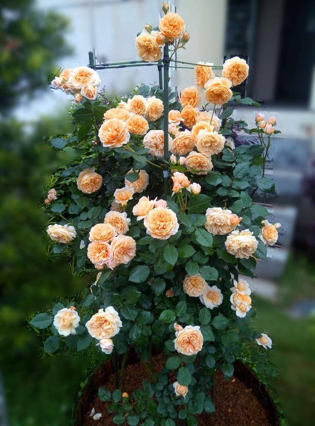 最值得入手的月季花。漂亮又好養。四季花不斷。春季養花選這些 - 每日頭條